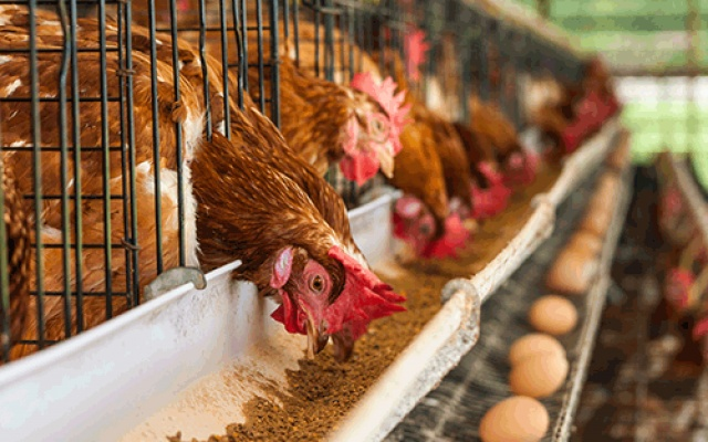 Photo of Poultry industry collapsing – Farmers